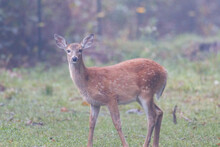 White-tailed Fawn (Odocoileus Virginianus) With Its Head Down In A Pasture On A Foggy Morning During Autumn. Selective Focus, Background Blur And Foreground Blur