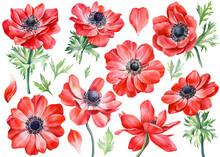 Set Anemones Flowers. Botanical Watercolor Floral Illustration For Design