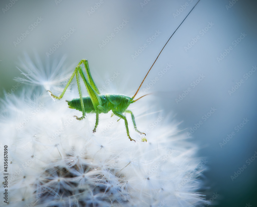 Fotografie, Obraz Green grasshopper sitting on a white dandelion. Close-up