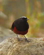 White Capped Redstart Bird In Habitat
