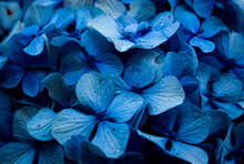 Macro Image Of A Bush Of Blue Hydrangrea Flowers With Sun Burnt Petals And Water Droplet Close Up