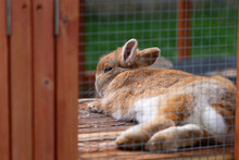 A Dwarf Rabbit Lies Stretched Out On A Piece Of Wood And Sunbathes, Hares And Rabbits As Pets