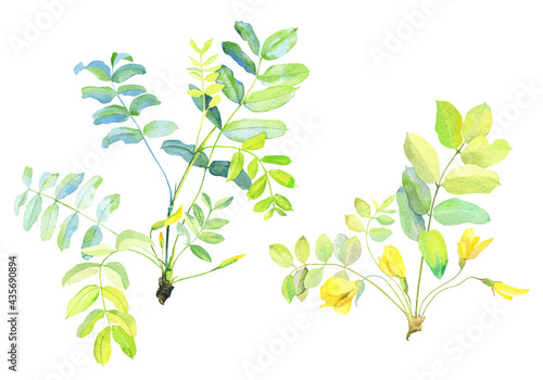 Wallpaper Mural Watercolor branch of yellow acacia with leaves and flowers