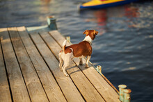 Cute Dog Jack Russell Terrier. Jack Russell Terrier On The Pier