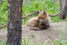 Cute Baby Red Fox In Spring