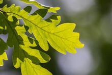 Sunlight Shining Through Oak Leaves