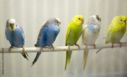 Leinwand Poster Close-up blue, yellow, green and white budgies birds sitiing on a stick in an av