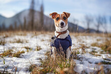 Small Jack Russell Terrier Stands On Green Grass Meadow With Patches Of Snow During Freezing Winter Day, Blurred Hills Behind Her