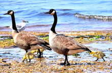 Baby Ducks By The Beach