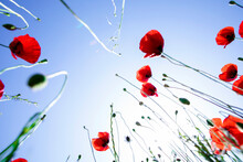 Red Poppies In The Sky