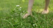 Female Feet Walking Barefoot On The Grass Defocus Close-up
