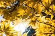 Leinwandbild Motiv Sun shining with flare through orange autumn leafs - looking up a tree