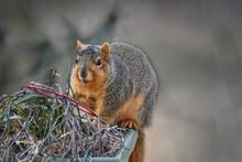 Fox Squirrel Close Up