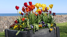 Beautiful Mix Of Tulips By The Sea In The Spring With Blue Sky Background