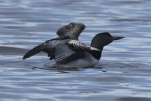 Common Loon On Lake On Beautiful Early Summer Day, Preening, Swimming, Relaxing, Diving, Looking For Fish, But Mostly Doing Feather Maintenance Including The Flap In Place Designed For Waterproofing