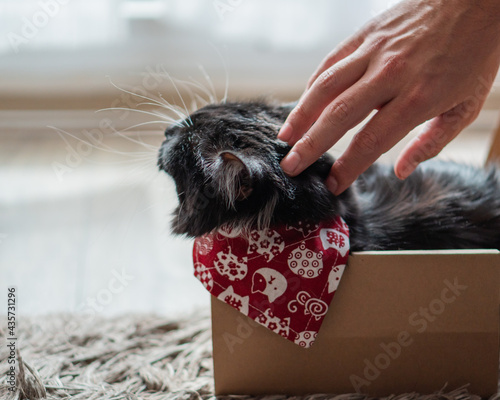 Black cat with a red cravat inside a box being petted in the head at the living Fototapet