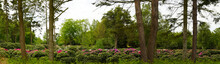 Panorama Photo Of A Rhododendron Farm In A Peat Area