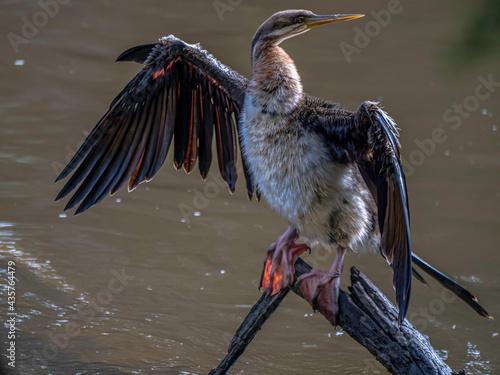 Fotografia, Obraz Darter Open Wings