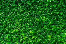 Closeup Evergreen Hedge Plants. Small Green Leaves In Hedge Wall Texture Background. Eco Evergreen Hedge Wall. Ornamental Plant In Backyard Garden. Many Leaves Reduce Dust In Air. Natural Backdrop.