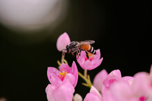 Honey Bee Collecting Pollen From Pink Flowers