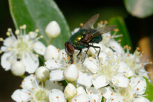 Common Green Bottle Fly (Lucilia Sericata) On Flowers