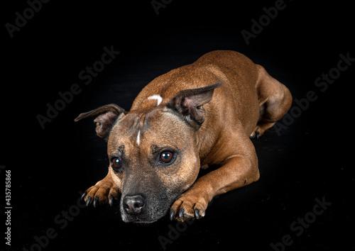 Canvastavla staffordshire bull terrier