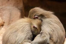 Hamadryas Baboon (Papio Hamadryas) Two Female Hamadryas Baboon Sleeping On The Rocks With A Natural Brown Background