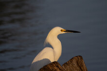 Snowy Egret (Egretta Thula) Head Profile Of A Snowy Egret Isolated Against A Dark Blue Background In The Early Morning