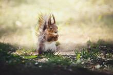 Close Up Portrait Of Wild Fluffy Squirrel Eating Pumpkin Seed Sitting On Green Grass In Sunlight In Spring