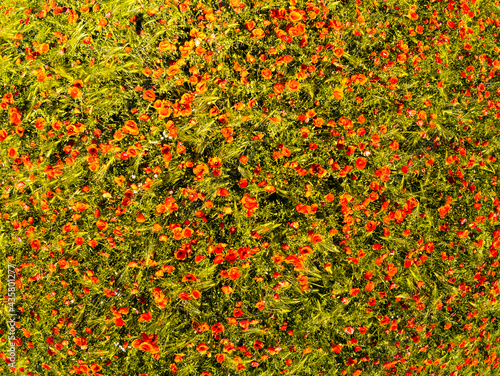 aerial view on the field of poppies #435801277