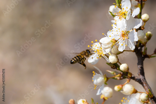 Foto Flying honey bee collecting bee pollen from white blossom