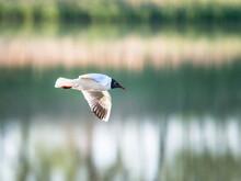 Black-headed Gull Lake Neusiedl