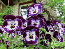 Flower Bed With Lilac Colored Pansies - Viola Tricolor Var. Hortensis Close Up