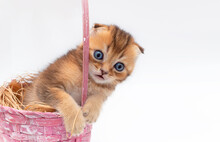 A Beautiful Portrait Of A Lop-eared Red Kitten Peeking Out Of A Basket. Isolated On A White Background