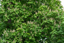 Green Chestnut Crown With White Flowers