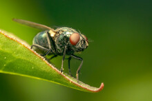 Common Green Bottle Fly Resting On A Green Leaf