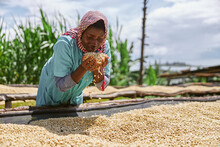 African Female Worker Is Mixing Coffee Beans On Drying Tabels At Washing Station