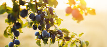 Juicy Plums In The Garden On A Sunset Background. Village Landscape With Ripe Orchard Fruits.Agricultural Harvest Concept.Home Garden And Natural Products Concept. Banner With Copy Space.