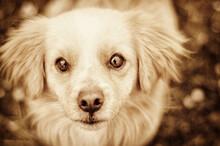 Vintage Portrait Of Pekingese Staring