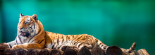 Siberian Or Amur Tiger With Black Stripes Lying Down On Wooden Deck. Full Big Size Portrait. Close View With Green Blurred Background. Wild Animals Watching, Big Cat