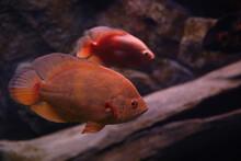 Beautiful Parrot Cichlid Fish In Clear Aquarium