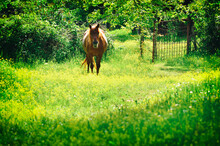 Horse In Green Pastures. Country Landscape.