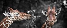 Portrait Of Two Cute Giraffes