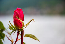 Closeup Shot Of A Pink Rosebud With Blurred Background