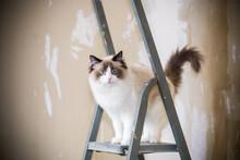 Cute Domestic Ragdoll Cat On A Construction Ladder