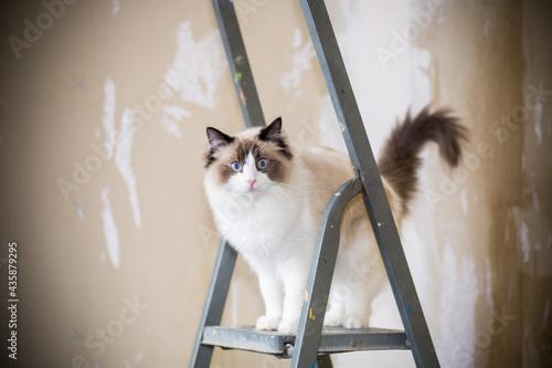 Valokuvatapetti Cute domestic ragdoll cat on a construction ladder