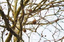 London Planetree With Ball-shaped Fruits On The Branches