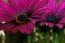 Selective Focus Shot Of Two Pink African Daisies Osteospermum