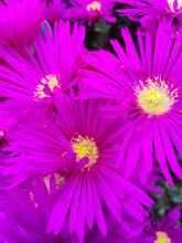Closeup Shot Of Purple Hardy Iceplant Flowers