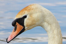 White Swan On The Background Of Blue Water. Waterfowl.